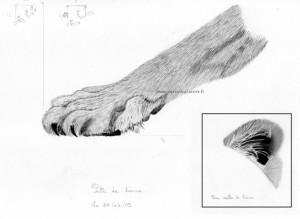 Dessin au crayon graphite d'une patte et oreille de lionne