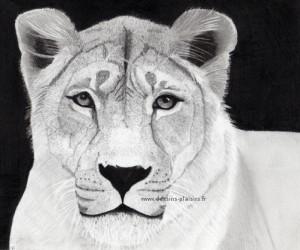 tête d'une lionne au crayon graphite et pierre noire.