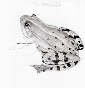dessin d'une grenouille par étape : 3eme étape