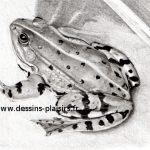 dessin d'une grenouille phase 6