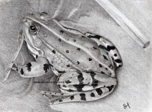 Dessin d'une grenouille au crayon graphite phase finale
